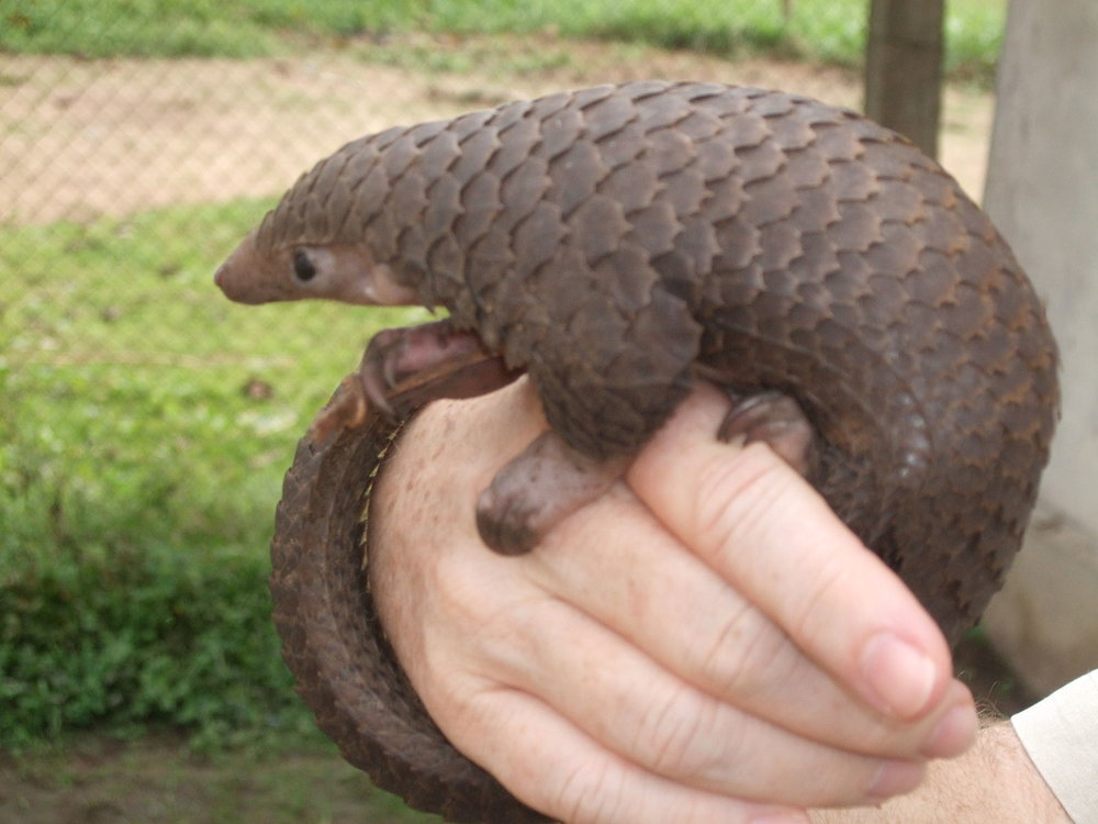 Photo of tree pangolin by Valerius Tygart