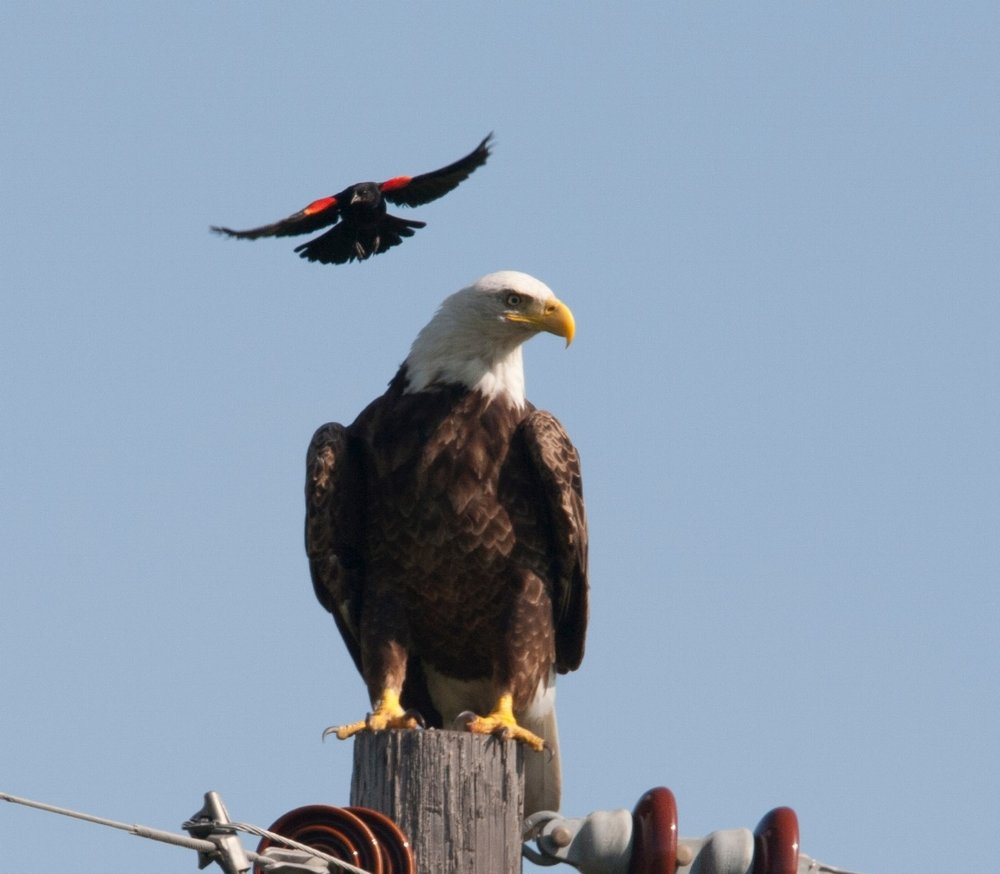 Bald Eagle and Red-Winged Blackbird
