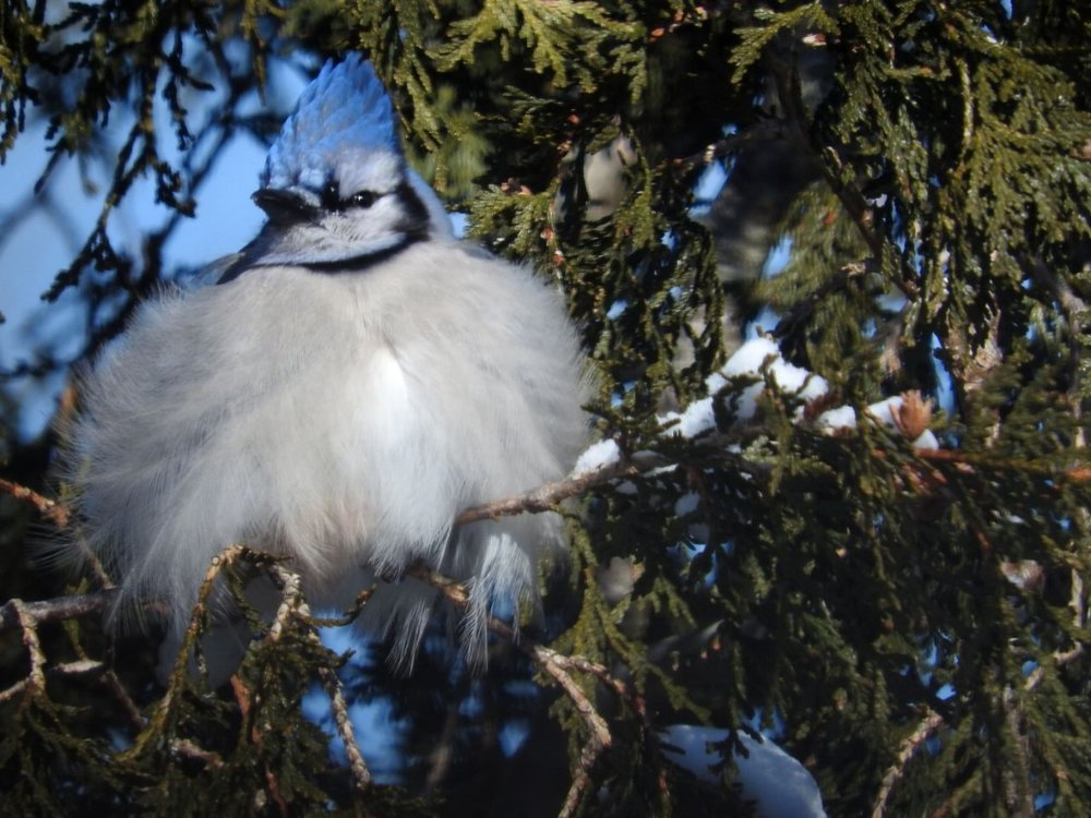 Blue Jay, Minus-5 Degrees