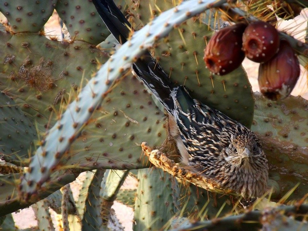 Roadrunner in Prickly Pear