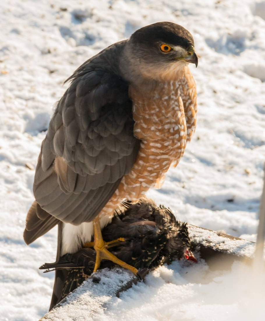 Cooper's Hawk with Starling