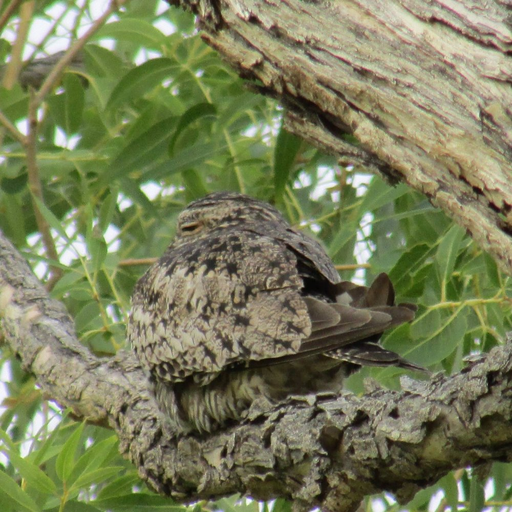 Nighthawk, Camouflaged