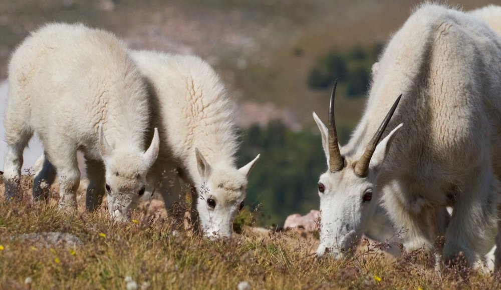 Mountain goats, Beartooth Plateau, Wyoming