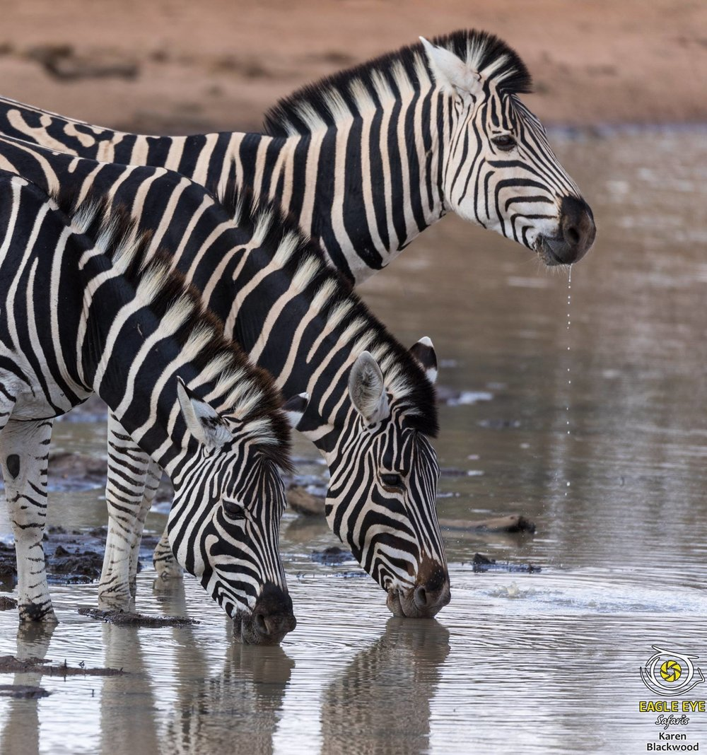 Photo by Karen Blackwood at Kruger National Park in South Africa