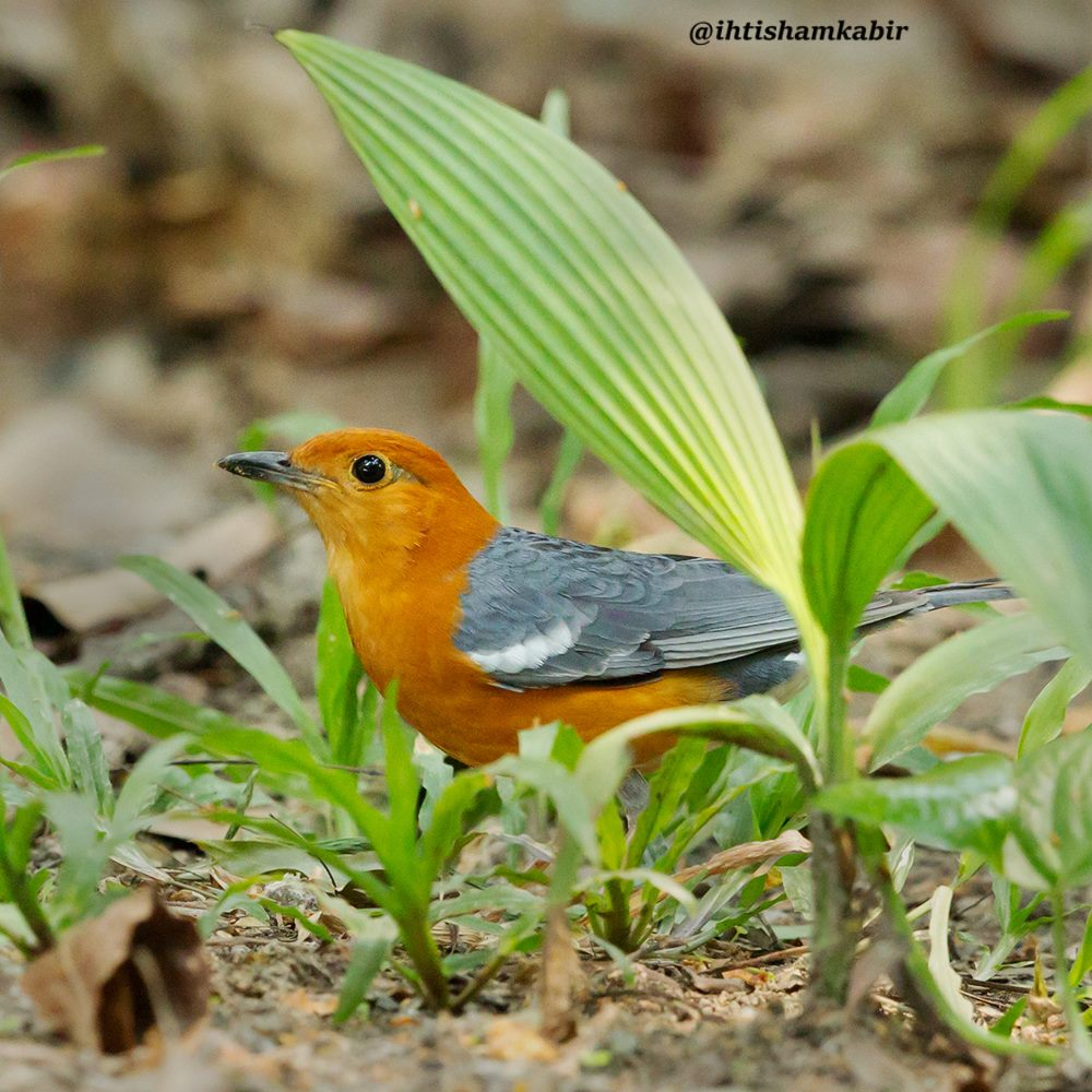 Photo of orange-headed thrush shared with The Naturalist's Notebook by Ihtisham Kabir in Bangladesh