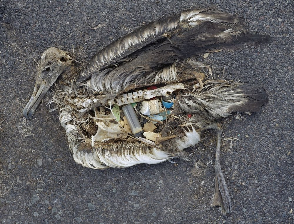 Albatross killed by plastic trash it had eaten (photo by ChrisJordan/WikiCommons)