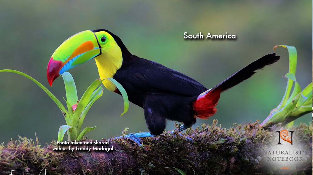 TravelSouthAmericaToucan.jpg