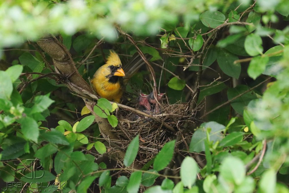 """Mr. Yellow,"" as he's become known, is now a dad. (Photo shared with The Naturalist's Notebook by Jeremy Black)"