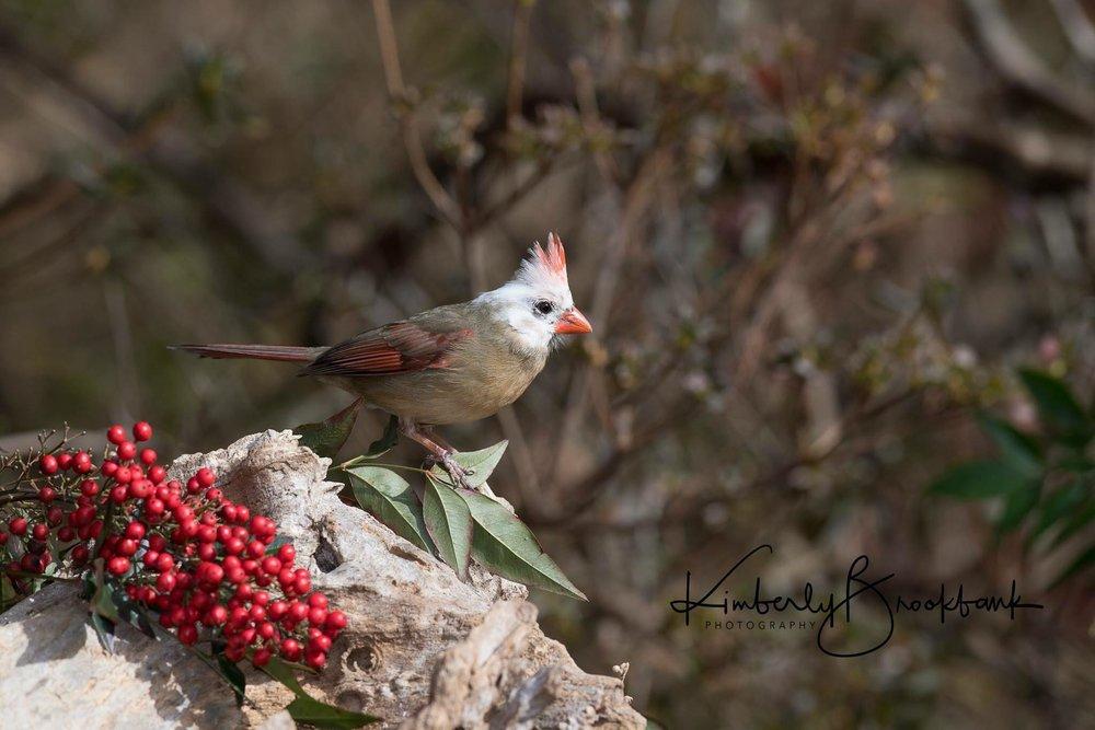 Leucistic Northern Cardinal (female)