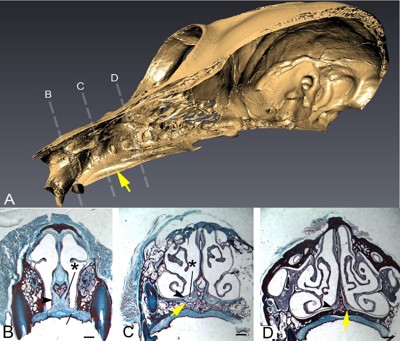 Figure adapted from Garrett et al. 2013. Anatomical Record. A shows a 3-D rendered skull of a loris with the yellow arrow pointing to the vomeronasal groove. B, C, and D are serial levels of the soft tissue vomeronasal organ, also from a loris. The vomeronasal groove is occasionally preserved in fossils, and its presence/absence and size can inform how developed the vomeronasal system was in extinct primates.
