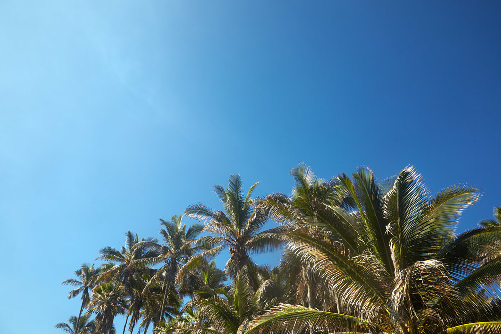 Hawaii_Big_Island_Palm_Trees.jpg