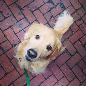 Tucker the golden retriever standing on brick patterns.