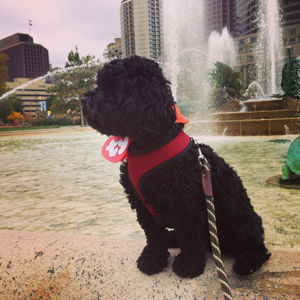 Hamilton the cockapoo hanging out at Logan Circle.