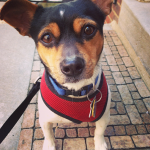 Phillip the chihuahua Jack Russell mix looking handsome.