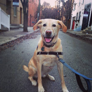 Moose the yellow lab way too excited to take a picture.