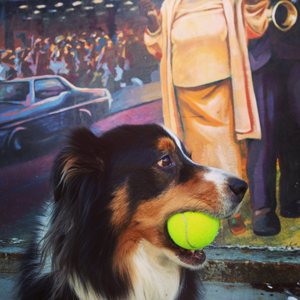 Tucker the Australian shepherd holding a tennis ball and looking handsome.