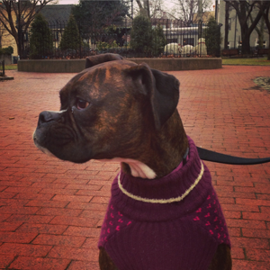 Penny the boxer hanging out at Fitler Square.