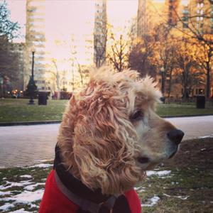 Louie thecocker spanielenjoying windy Rittenhouse Square.