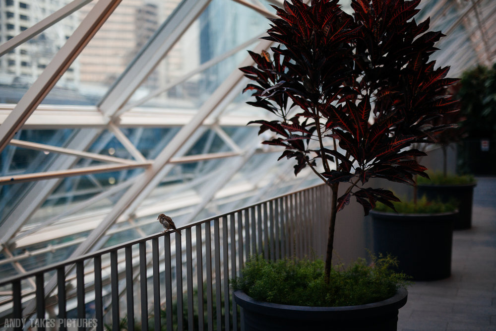 A photograph of bird in devonian gardens in downtown calgary alberta. There is a row of trees pots with bright red leaves. The bird is on a railing looking up and out the massive windows to downtown calgary and seems dejected.