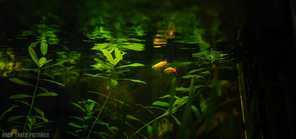 A photograph of of two White Mountain Cloud Minnows swimming between Temple plants in an aquascaped aquarium.
