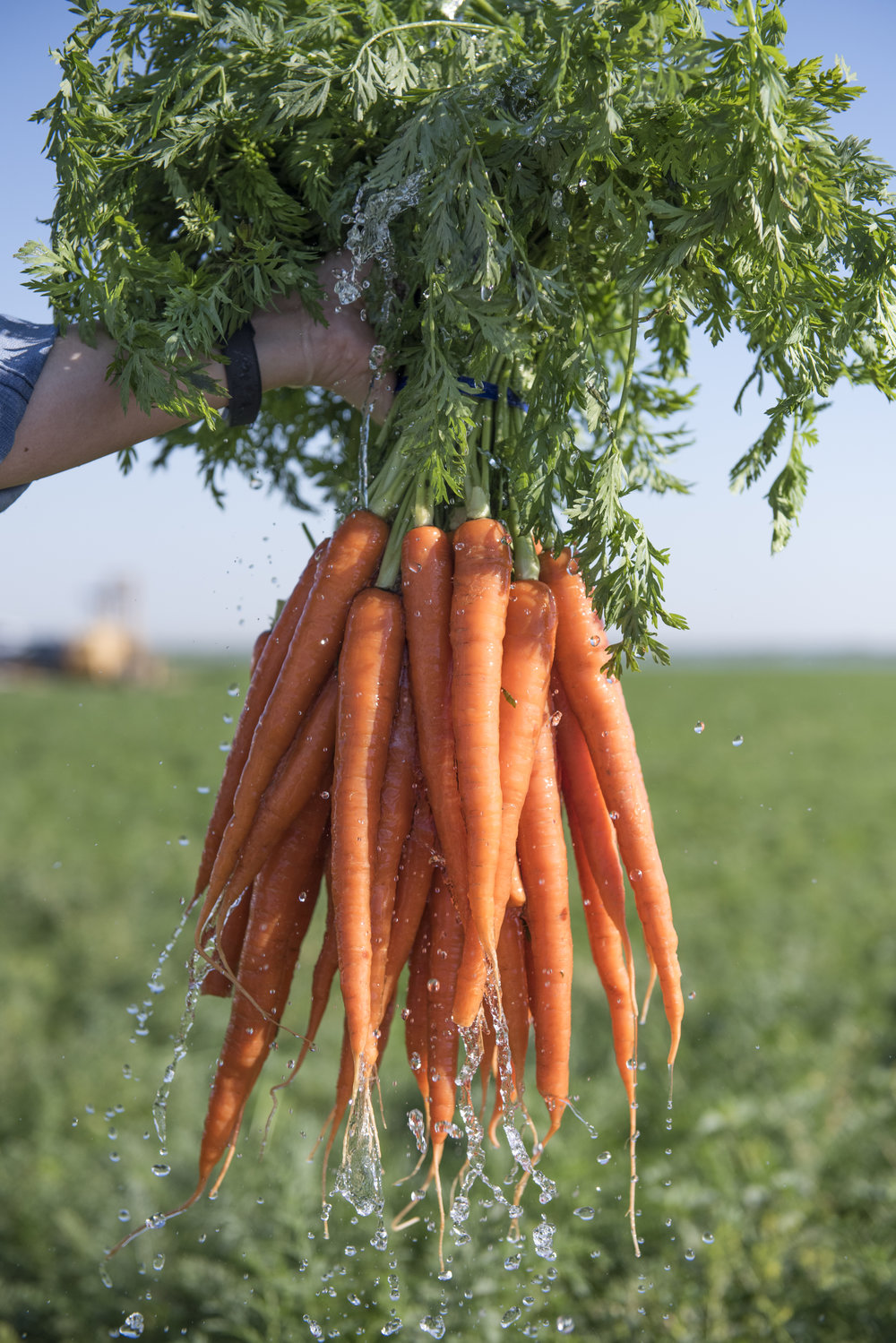 Bolthouse_Carrots_Sunrise-3765.jpg