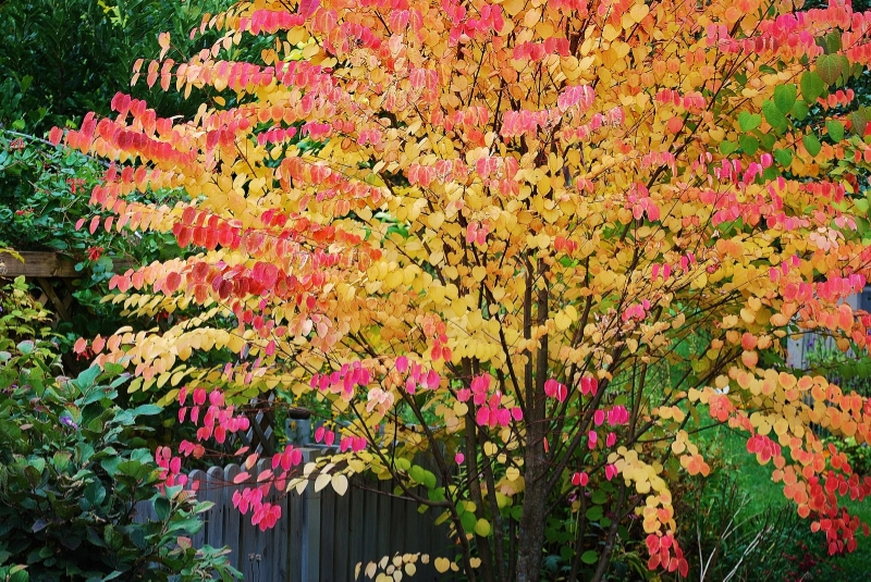 A mature Katsura changing colors
