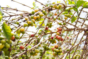 A coffee tree before its cherries are ready for harvesting.