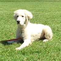 Jojo-Great Pyrenees.jpg