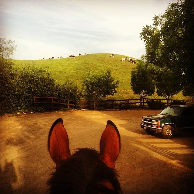 cows on hill w:ears.jpg