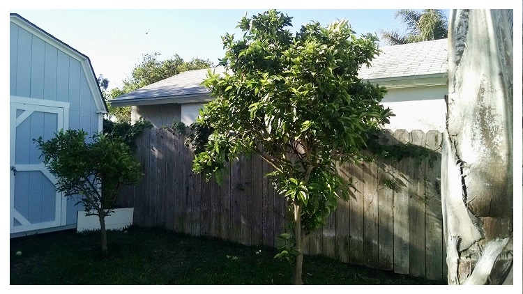 fruit trees - done