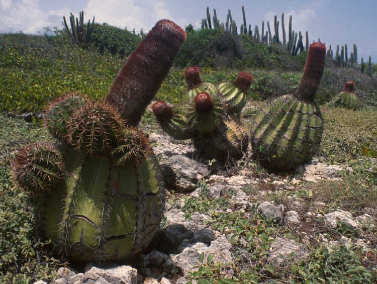 Turk's head cacti, Guanica State Forest, Puerto Rico (my photo)