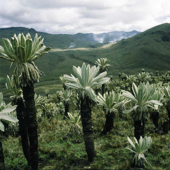 Paramo landscape with giant espeletias, Ecuador