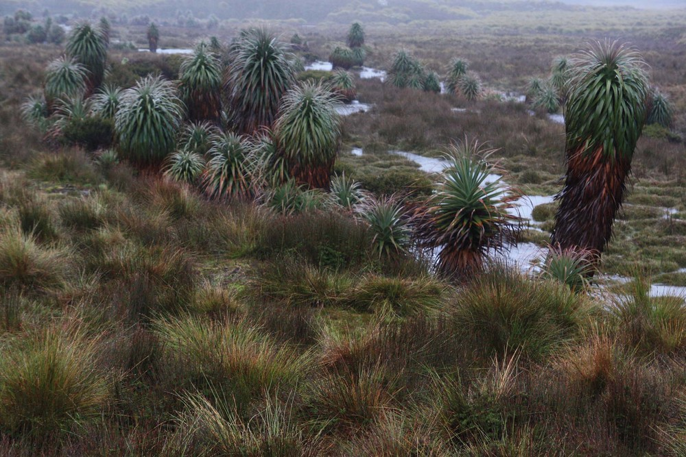 Moorland with Richea pandanifolia (the world's tallest heath), Cradle Mountain National Park, Tasmania (my photo)
