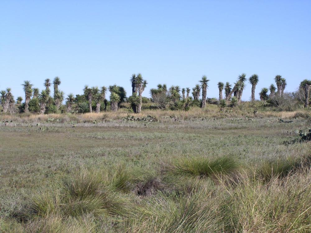 Yuccas and salt marsh, Laguna Atascosa (my photo)