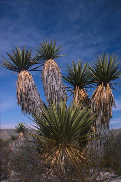 Giant Dagger Yuccas, Dagger Flat, Big Bend National Park (my photos)