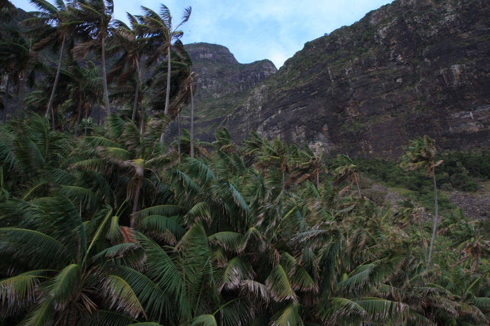Kentia palm forest at the base of Mt. Gower (my photo)