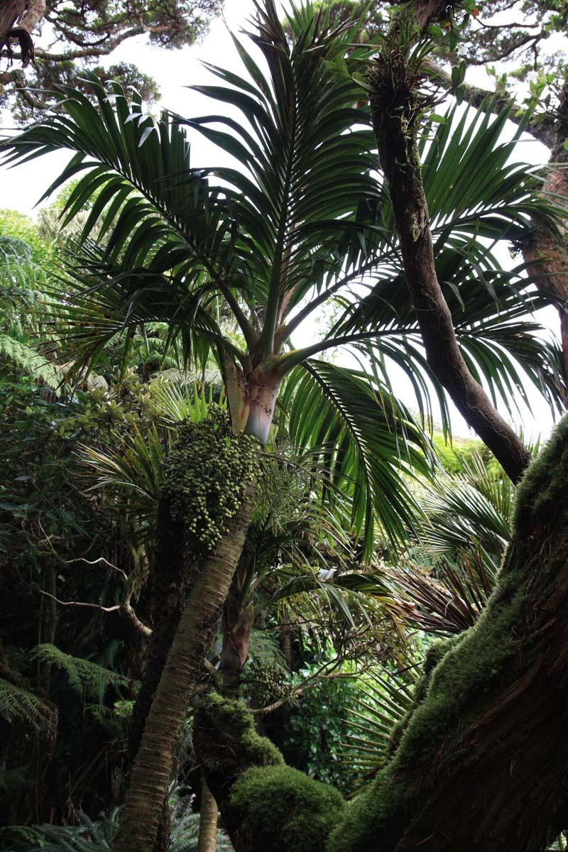 Lepidorrhachis mooreana (Little Mountain Palm), Mt. Gower summit (my photo)
