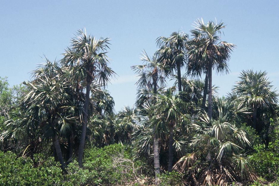 Grove of Silver Palms, Bahia Honda, Florida Keys (my photo)