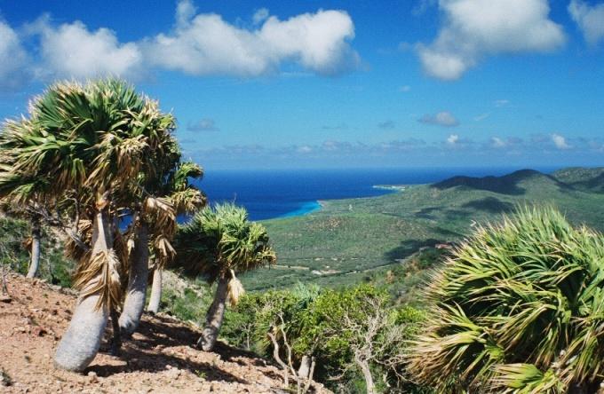 Sabal palms on Serra Bientu, Curaçao (my photo)