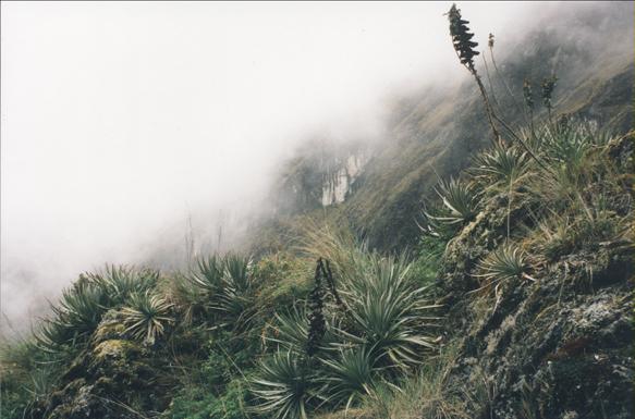 Bromeliads along the Inca Trail (my photos)