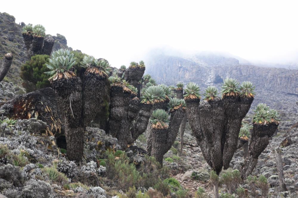 Giant groundsels (Senecio kilimanjari), Mt. Kilimanjaro (my photo)