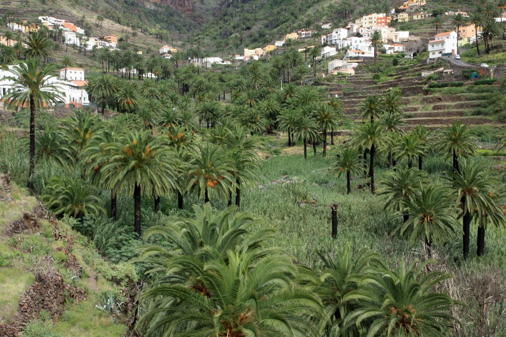 Phoenix canariensis, La Gomera (my photo)