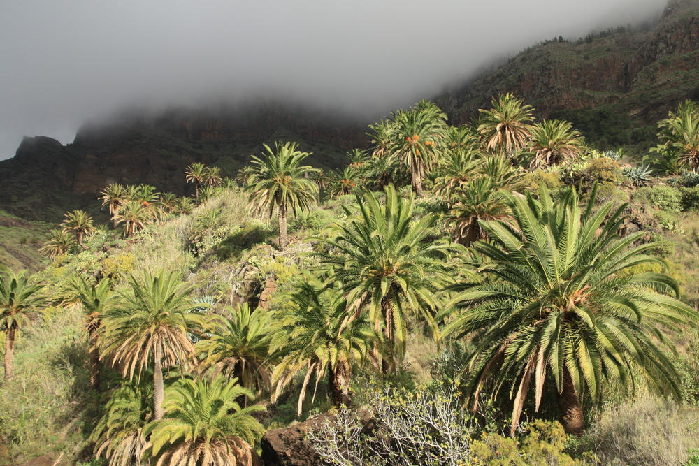 Phoenix canariensis (Canary Island date palms) in a valley inland from the west coast (my photo)