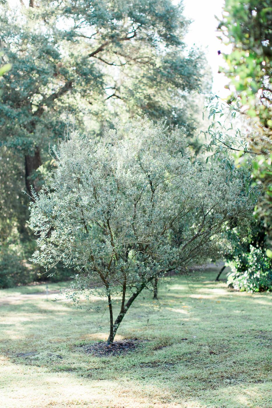 bok tower tree.jpg
