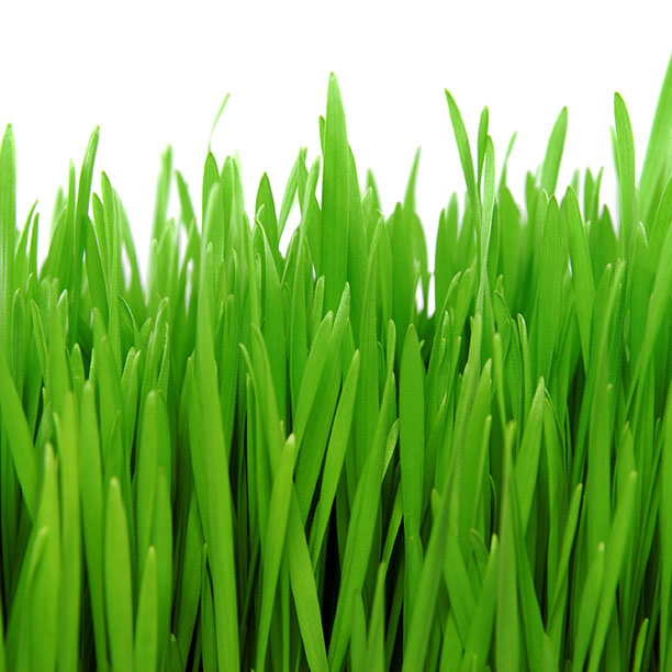 Purasana_ilustracja__0003s_0001_BARLEY GRASS.jpg