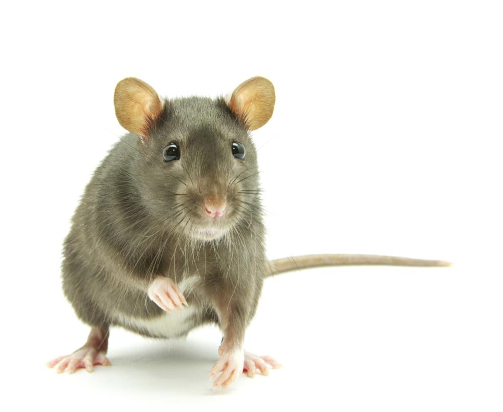 106564123-rats-mice-care.jpg