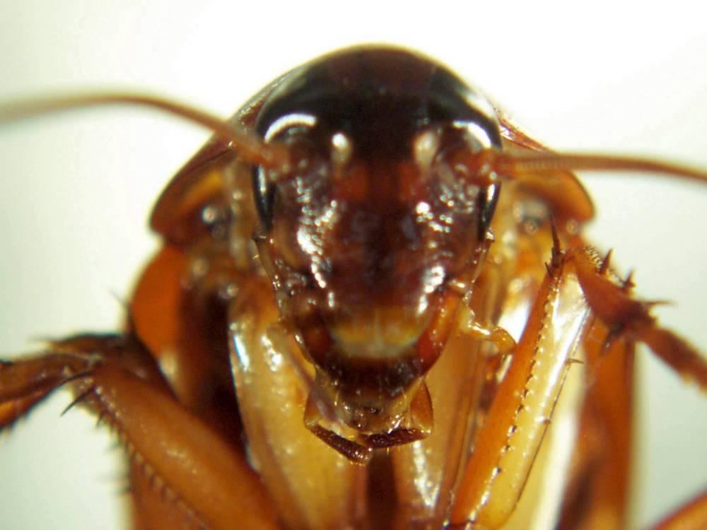 Cockroach-head.jpg