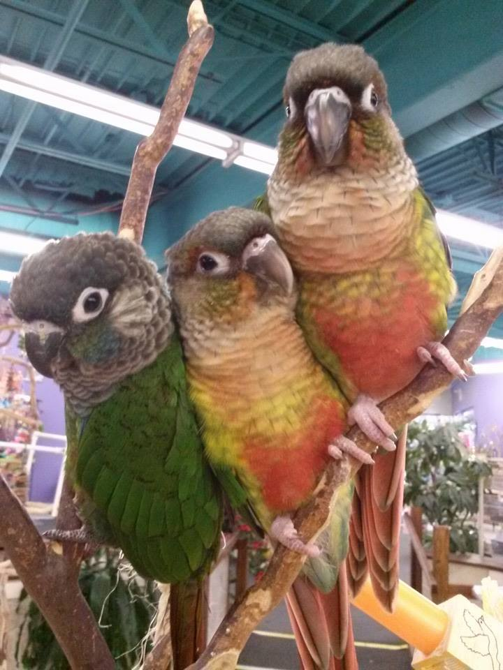 Yellow Sided Normal Green Cheek Conures.jpg
