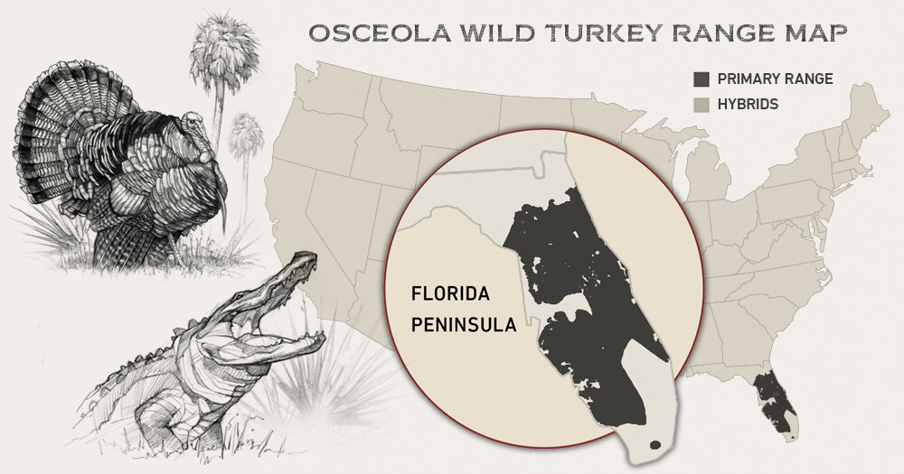 Osecolas are found only in the orange groves, cattle pastures and deep cypress swamps of the Florida peninsula.
