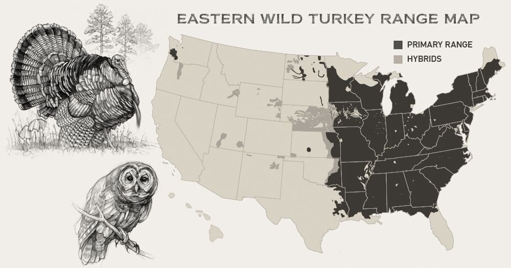 Easterns inhabit a larger range than all other wild turkey subspecies combined.